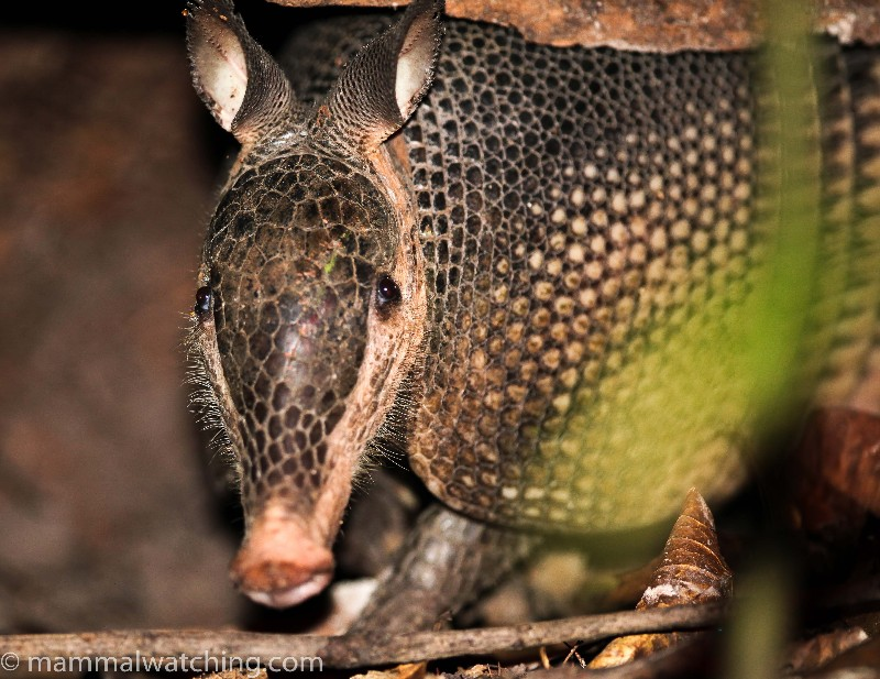 2015-Greater-Long-nosed-Armadillo
