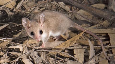 Trip Report – South Australia and SW Western Australia