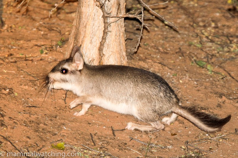 2010-Plains-Viscacha-2