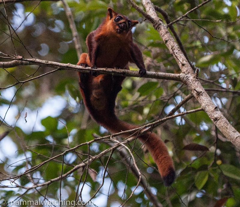 2015-Red-Giant-Flying-Squirrel