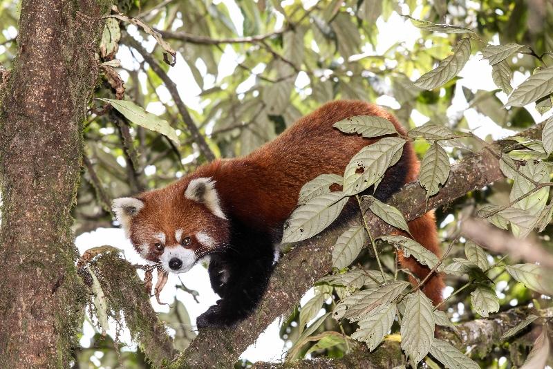 2012-Red-Panda-1