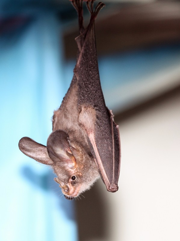 2010-Lesser-False-Vampire-Bat-1