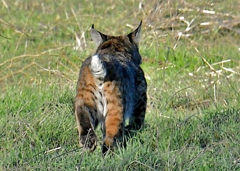 update on Central California bobcat site