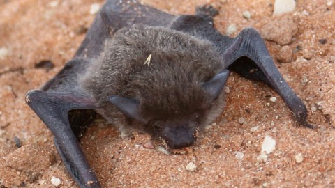 Kgalagadi Bat ID Needed