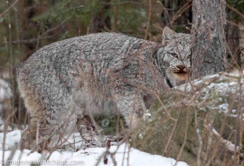 2017-Canada-Lynx-Lynx-canadensis-12