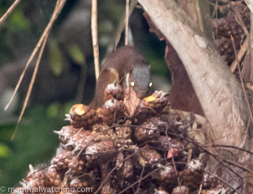Sierra Leonean Squirrel ID