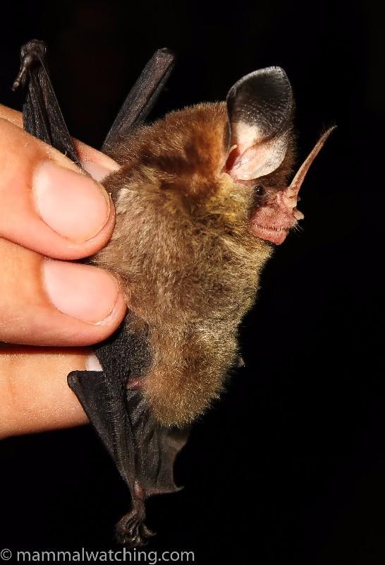 20170616-Striped-Hairy-nosed-Bat-Mimon-crenulatum