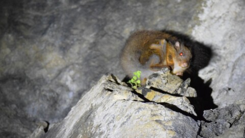 Complex-toothed Flying Squirrel?