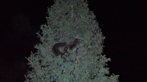 Northern Chinese or Indian giant Flying Squirrel ?