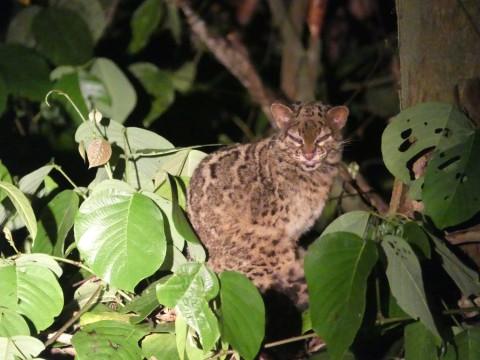 Sabah Mammals Tour Trip Report from Royle Safaris