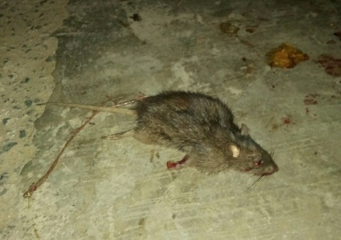 Rat ID, southern Thailand (slightly gruesome pics)