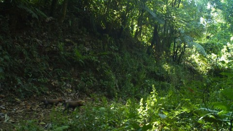 news article about Bush Dog sighting in Costa Rica