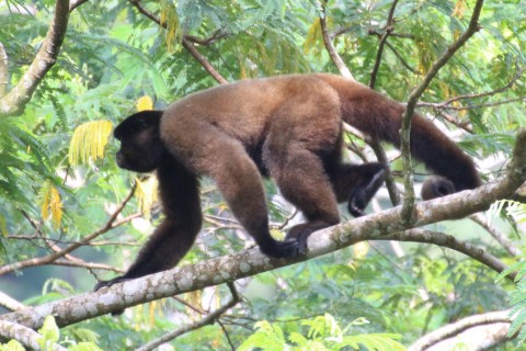 Significant range expansion for Silvery Woolly Monkey?