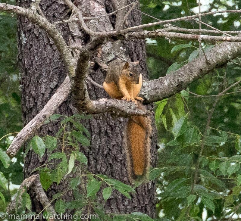 2018-Eastern-Fox-Squirrel