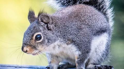 Photos Needed For USA Mammal Guide