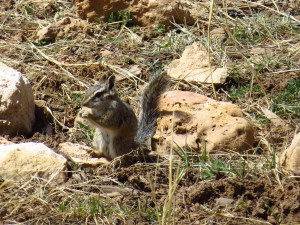 another picture of the grand canyon chipmunk