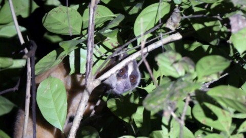 Javan Endemic Mammal Tour Trip Report from Royle Safaris