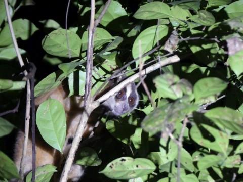 Javan Endemic Mammal Tour Trip Report from Royle Safaris