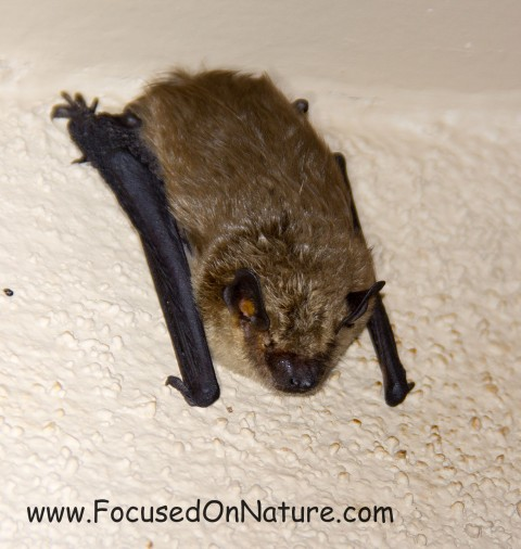 Bat ID Help