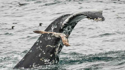 Report of Baird's Beaked Whale and Guadalupe Fur Seal from Southern California