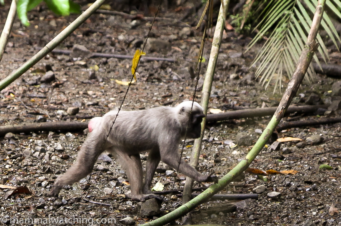 Sulawesi Mammal Watching