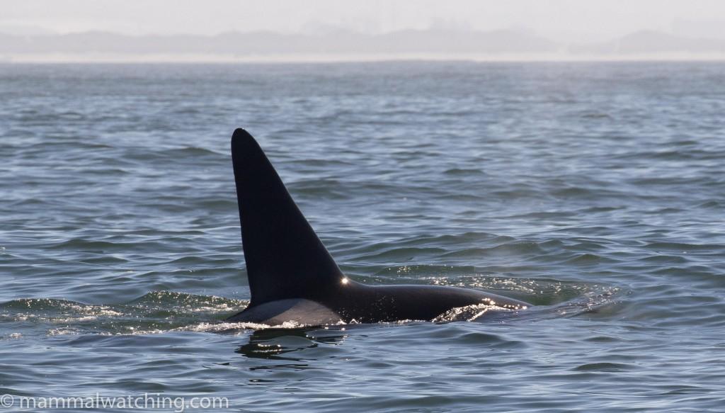 2017-Biggs-killer-whale-Orcinus-orca