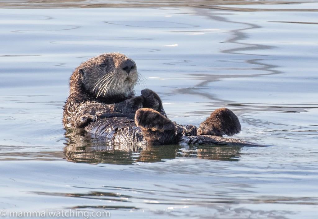 2017-sea-otter-Enhydra-lutris-1