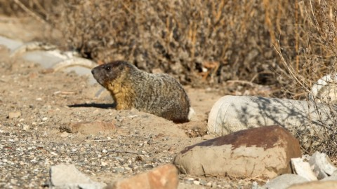 Ground Squirrels of the Pacific NW