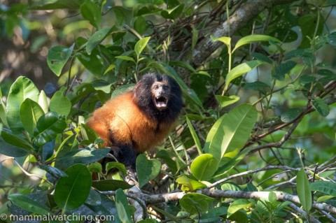 A Tale of Two Tamarins … and a Marmoset