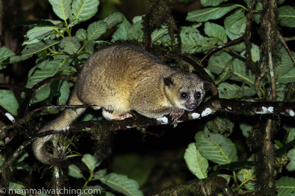 New Trip Report Bellavista Ecuador Mammal Watching