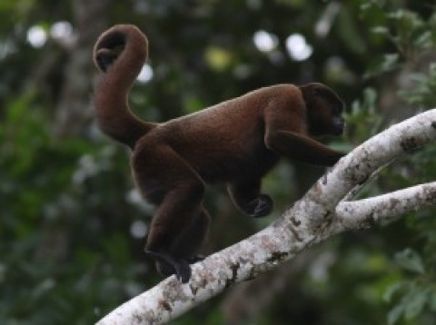 Ecuador ID: Woolly Monkey
