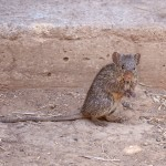 18rodent00001small