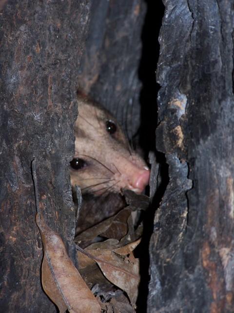 Opossum ID