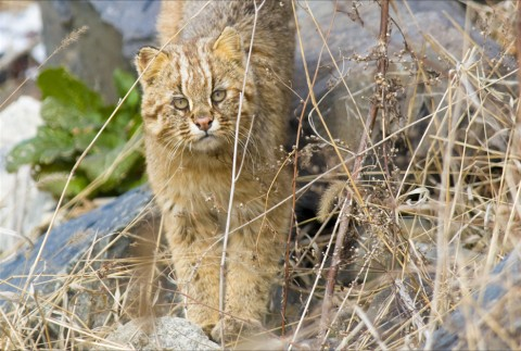 Amur Leopard Cat Photo