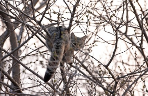 Wild Cat Photo from Bulgaria