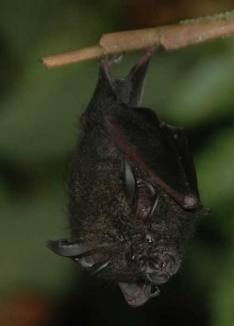 Bat ID, Danum Valley Field Center.