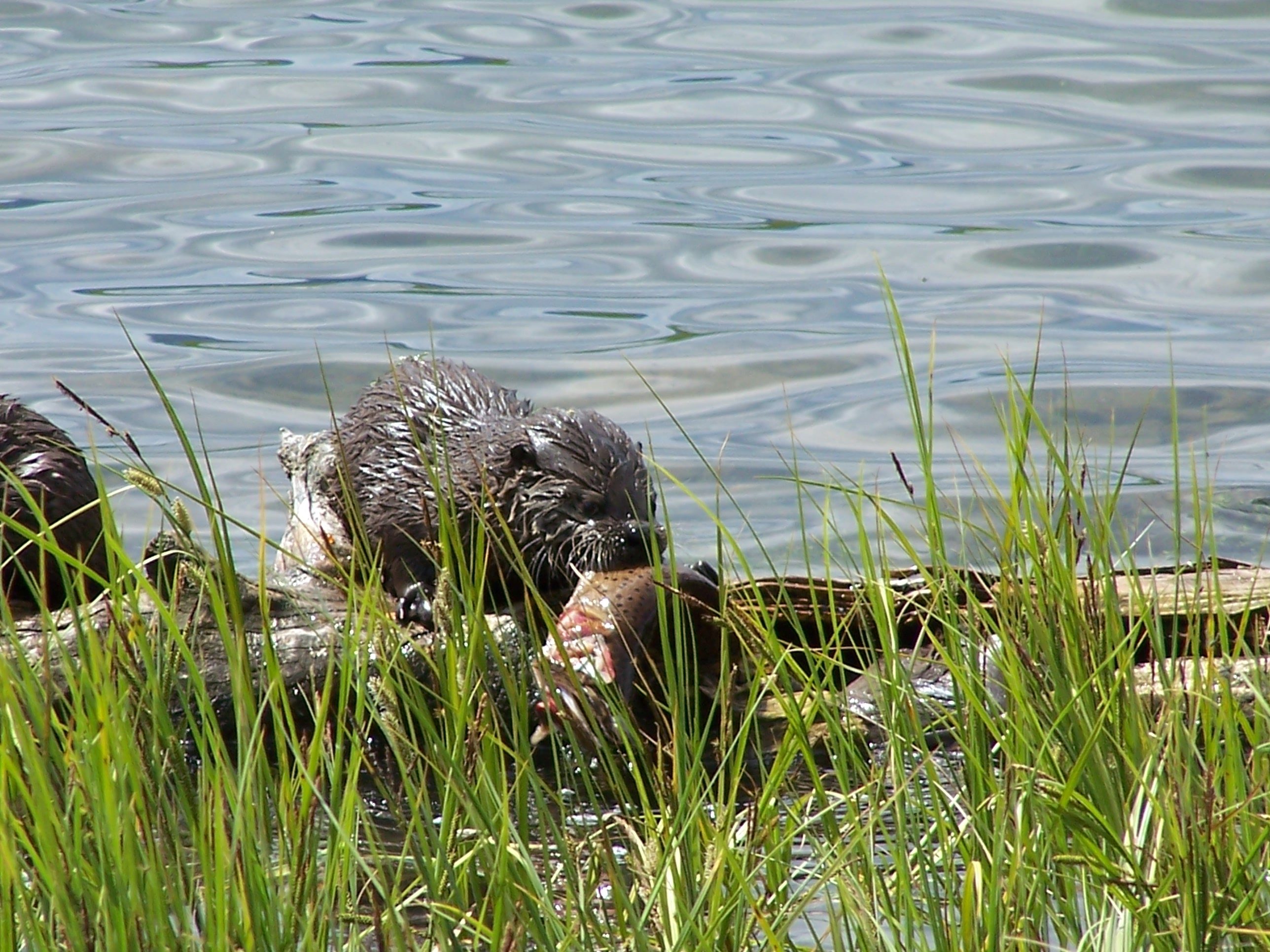 Otters in Yellowstone