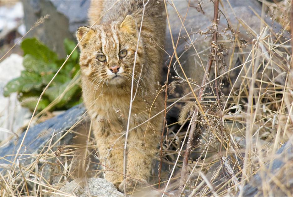 Amur_Leopard_Cat