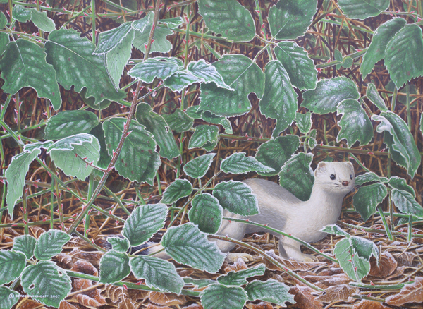 Stoats hunting hares.