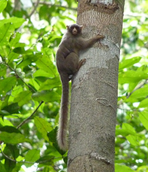 Sightings from Amazonian Brazil – Primates and Short-eared Dog