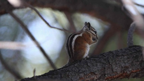 Chipmunk ID – any ideas?