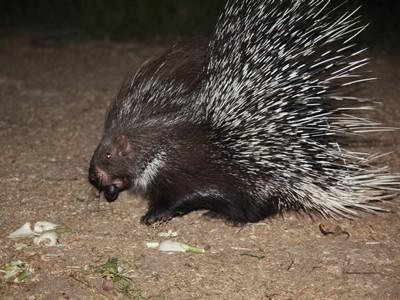 Indian Porcupine