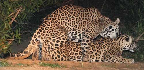 Mating Jaguars in Pantanal