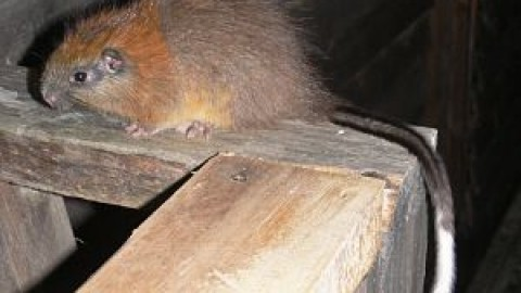 Red-Crested Tree Rat Rediscovered in Colombia