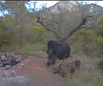 Iberian Wild Boar on Camera