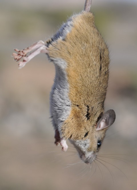 Arizona Rodents – ID required