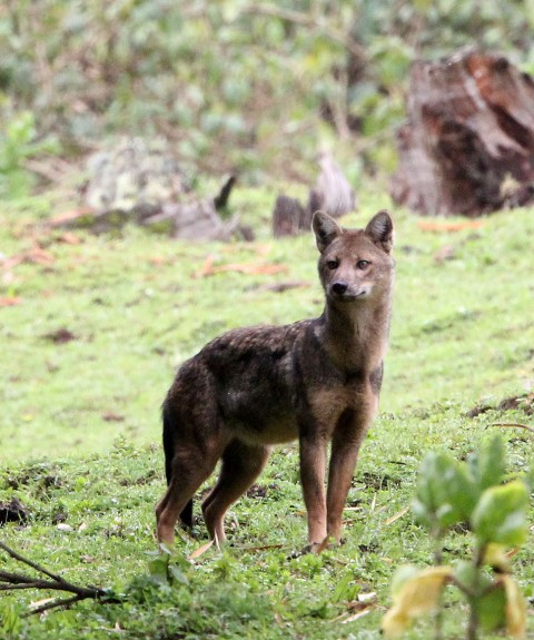 Very Strange Canid in Bale Mountains Ethiopia (RFI)