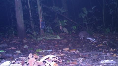 Mystery Beast – Danum Valley, Borneo