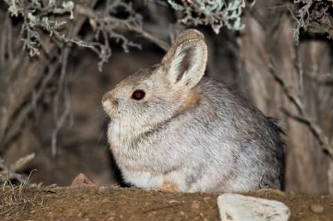 Pygmy Rabbit site near Bannack State Park, Dillon, Idaho