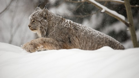 Incredible Canada Lynx Encounter
